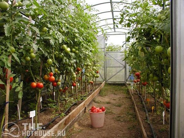 Урожай из теплицы